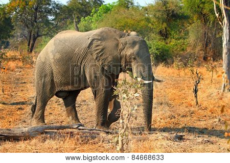 Isolated Elephant walking in the African Bush