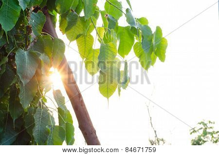 Sunlight Through The Green Leaves