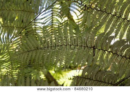 Silver fern branches in New Zealand