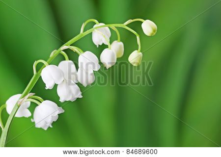 Lily of the Valley on light green background.