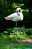 Single beautiful white flamingo(Phoenicopterus chilensis) standing on one leg on the grass poster