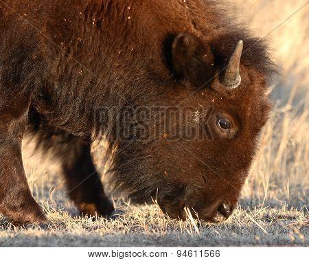 Yearling Bison Feeding