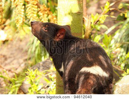 Tasmanian Devil Smelling The Air