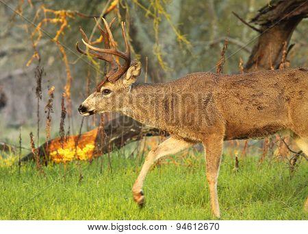 Black-tailed Deer Buck Stepping