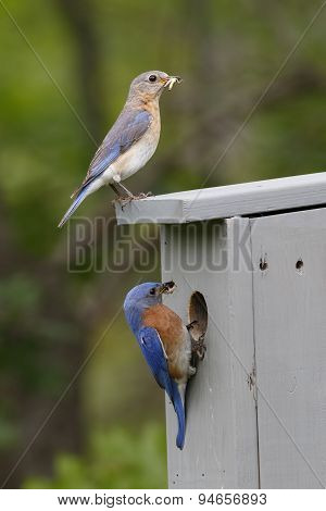 Pair of Eastern Bluebirds at Nest Box with Food