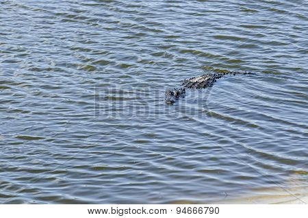 American Alligator In Shallows