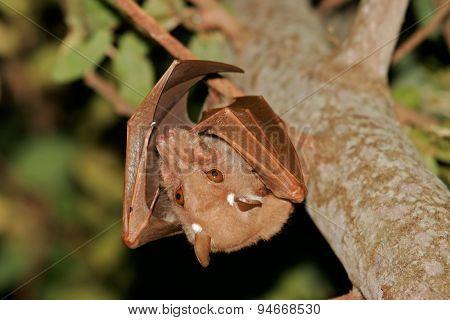 Gambian epauletted fruit bat (Epomophorus gambianus), Kruger National Park, South Africa