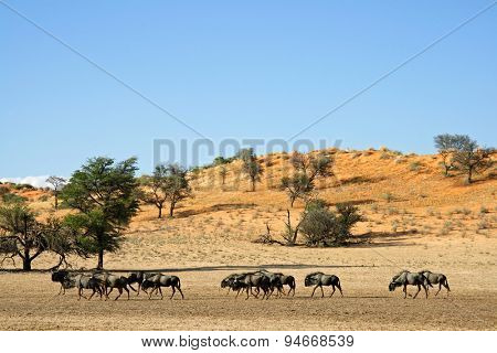 Blue wildebeest (Connochaetes taurinus) walking in a dry riverbed, Kalahari desert, South Africa
