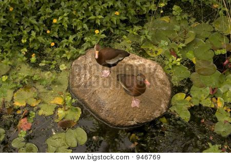 Ducksonarock