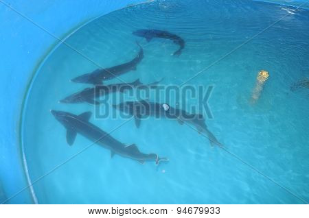 Lam Dong, Vietnam - May 5, 2012: Broodstocks Of Sturgeon Are Raised In Tank In A Farm In Da Lat City