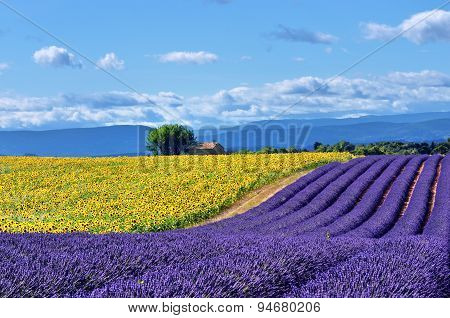 Stunning rural landscape with lavender field sunflower field and old farmhouse on background. Plateau of Valensole Provence France poster