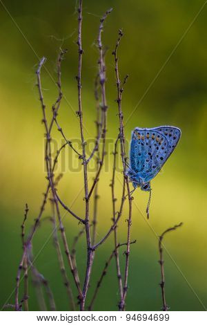 Butterfly Lycaenidae sitting on a plant