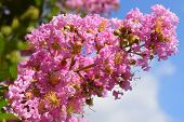 unusual inflorescence by pink color of lagerstroemia indica (crape myrtle, crepe myrtle) against the blue sky poster