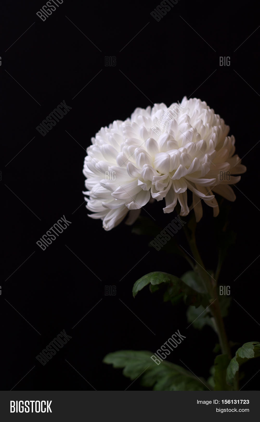 White Chrysanthemum On Image Photo Free Trial Bigstock