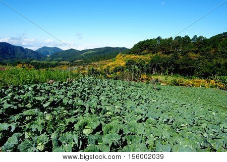 Fresh Green Cabbage In Agriculture Plantation, cabbage or Chinese Cabbage in a field, ready for harvest