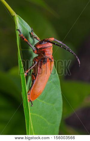 Longhorn Beetle (loesse Sanguinolenta), Beetle