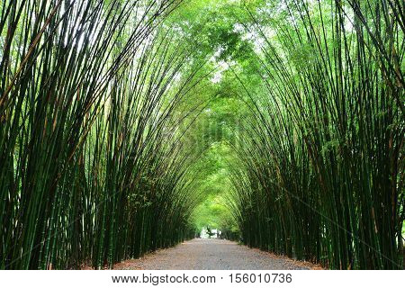 Tunnel bamboo trees and walkway Nakhon Nayok Province in Thailand