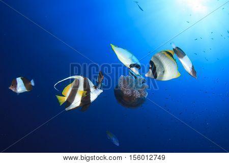 Butterflyfish eating jellyfish