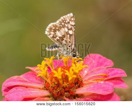 Ventral view of a Common  Checkered Skipper butterfly on a bright pink Zinnia flower