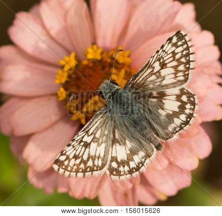 Dorsal view of a Common Checkered-Skipper, Pyrgus communis, feeding on a pink Zinnia