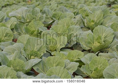 Cabbage field.cabbage or Chinese Cabbage in a field, ready for harvest