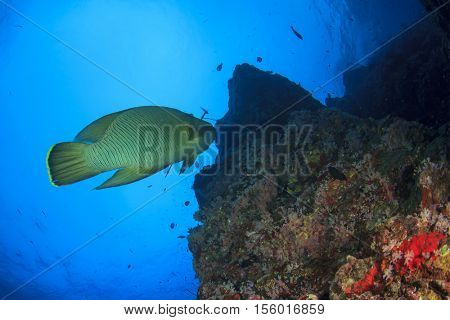 Napoleon fish (Maori Wrasse)