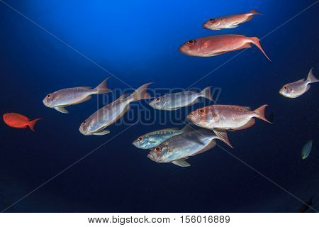 School of red fish: Crecent-tailed Bigeyes