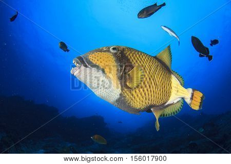 Triggerfish and groupers feeding on coral reef underwater
