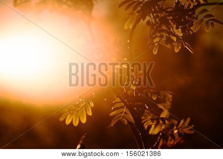 Sunset ashberry in direct sunlight background