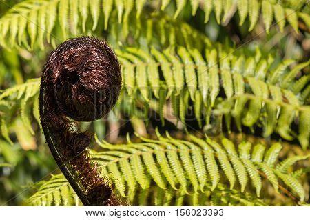 close up of black tree fern frond - Cyathea medullaris