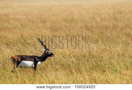 Mature male black buck deer walking in deep grassland
