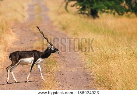Lone male black buck deer crossing the road into grasslands. Concept of not going with the crowd and finding new grounds