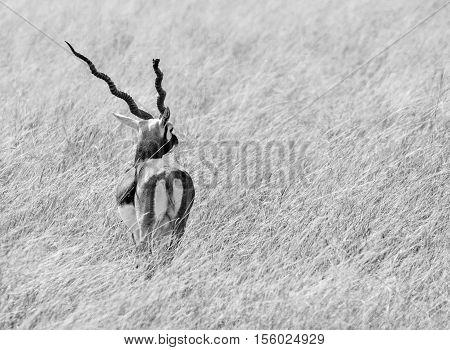 Beautiful Monochrome image of Male black buck deer in grasslands looking sideways