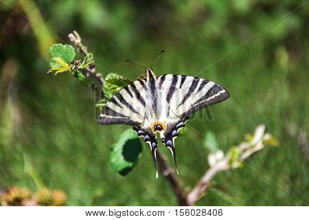 Swallowtail butterfly on the sprig. Old World swallowtail. Papilio Machaon.
