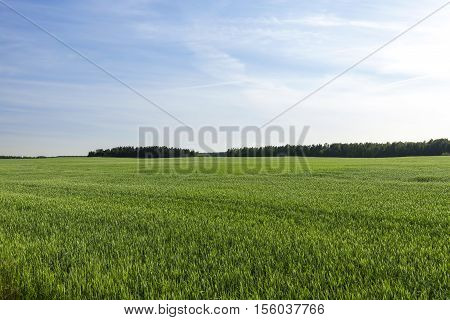 Agricultural field on which grows green unripe wheat grass, landscape in the background blue sky and trees