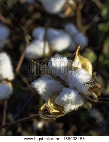 Close up of a ripe cotton boll that has been defoliated and is ready for harvest
