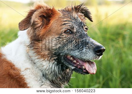 Head reddish white dog all grimy black mud
