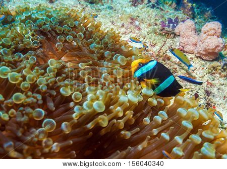 Yellowtail Clown Fish With Sea Anemone