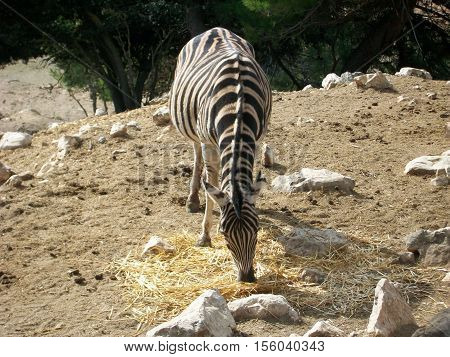 Zebra that is eating placidly in the field