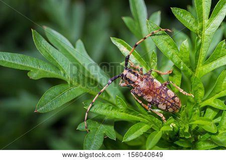 The Longhorn Beetle