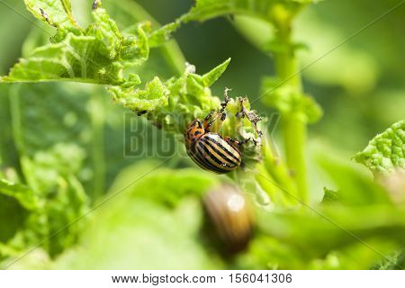 Colorado potato beetle sitting and destroying green potatoes, small depth of field
