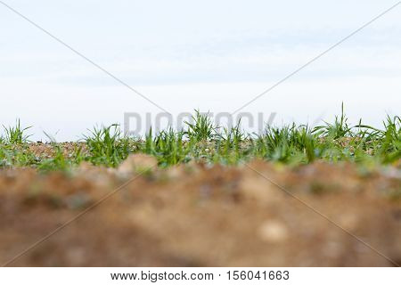 photographed close up young grass plants green wheat growing on agricultural field, agriculture, autumn season,