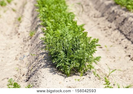 the field of agriculture, which grew little green sprouts of carrots