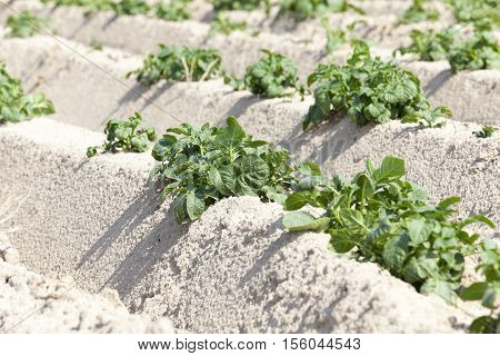 Agricultural field on which grows green potatoes. summer time