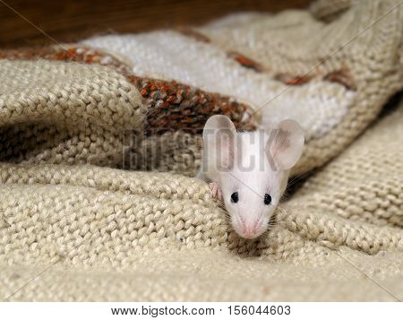 White mouse with black eyes peeking out from a warm knitted sweater