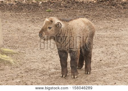 It is image of young golden takin.