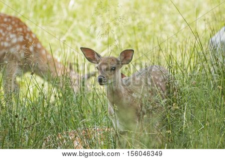 It is image of fallow deer in pasture.