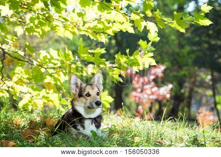 Welsh Corgi sits in the thick grass under a tree. Pembroke welsh corgi in autumn park.