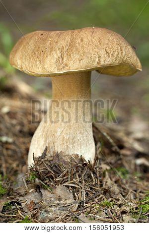 edible mushroom (Boletus edulis Bull) in forest