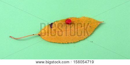 picture of a autumn walnut leaf on green